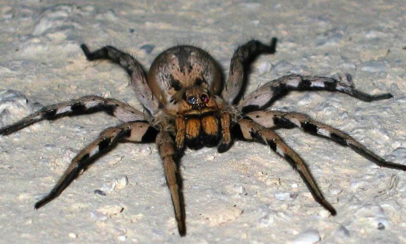 Блуждающий бразильский паук