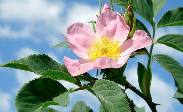 Из соцветий шиповника можно заваривать вкусный и полезный чай