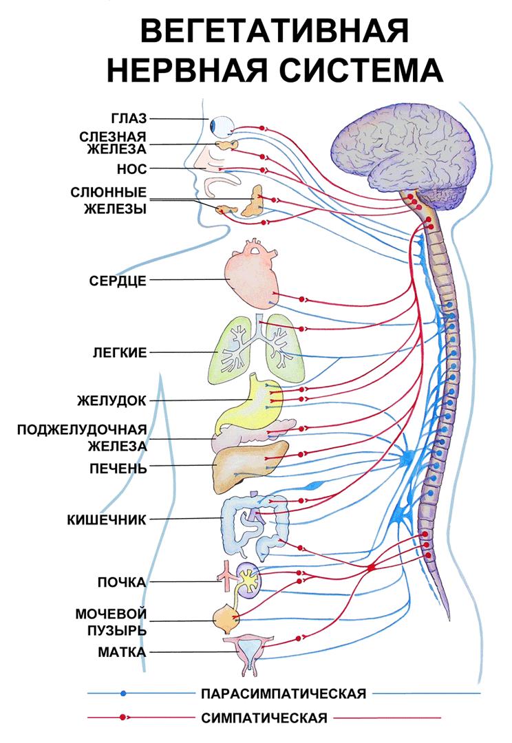 Статус вегетативной нервной системы описание