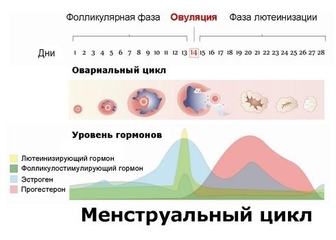 kolebaniya-seksualnogo-zhelaniya-v-tsikle