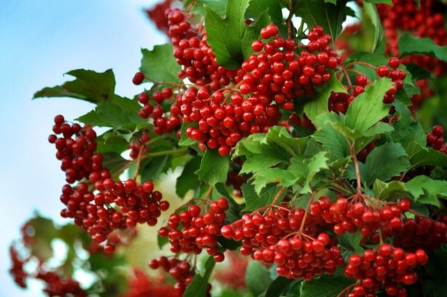 Калина давно известна своими целительными свойствами при лечении многих заболеваний